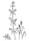 Bilde å fargelegge bete - mais - korn