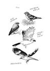 Bilde å fargelegge fugler