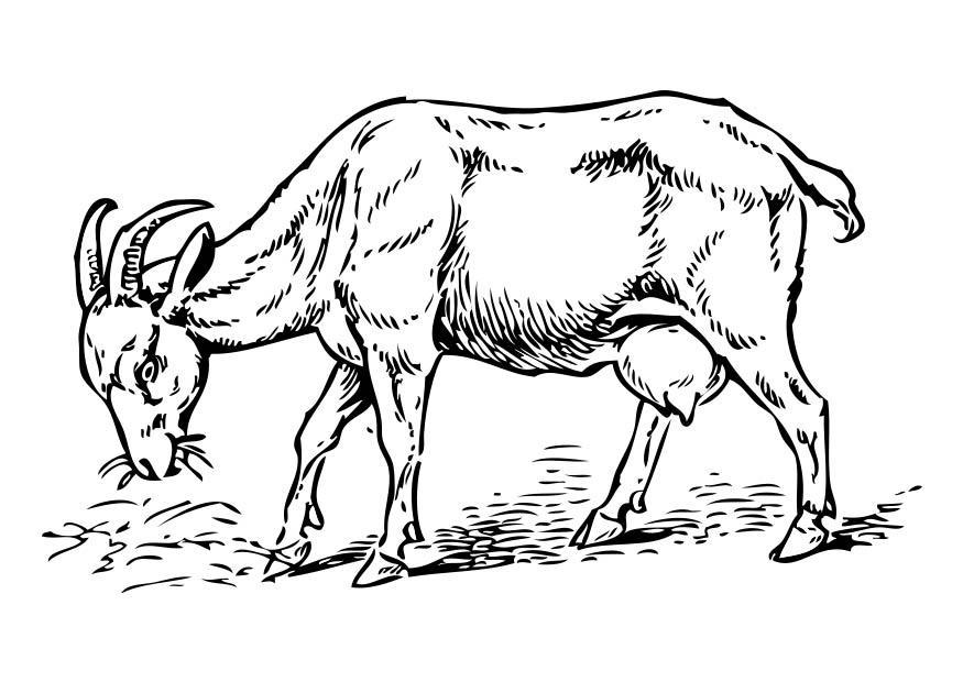 Line Drawing Goat : Bilde å fargelegge geit bil