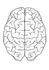 Bilde å fargelegge hjernen, ovenifra