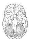 Bilde å fargelegge hjernen, underifra