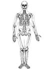 Bilde å fargelegge menneskeskjelett