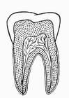 Bilde å fargelegge tann i tversnitt