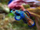 Foto fisk - Synchiropus splendidus
