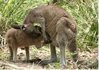 Foto kenguru med barn