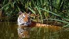 Foto tiger i vann